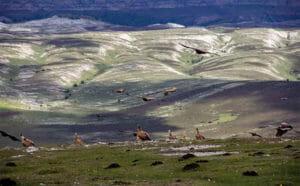 Buitres echandose a volar en la sierra de Andía